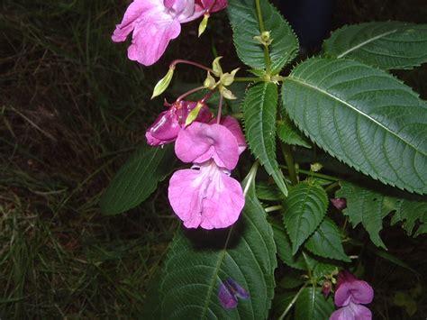 stock bottle fiori di bach floriterapia fiori di bach impatiens erba