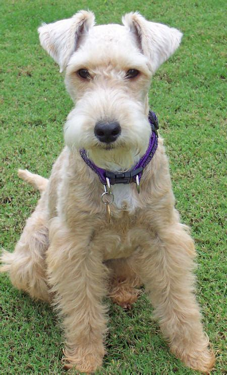 emmy the lakeland terrier dogs daily puppy