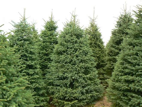 wholesale christmas tree farms