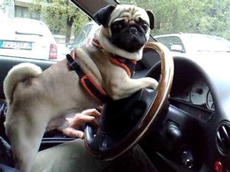 pug driving car pug carlino gg driving car pʋǥƨ car and