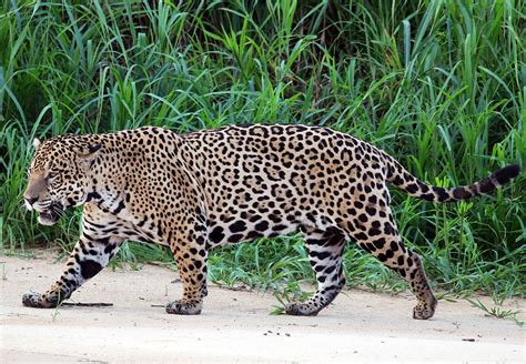 different types of jaguars jaguar