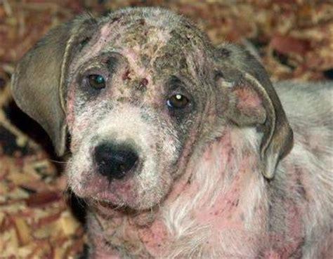 sarcoptic mange in dogs sarcoptic mange in dogs symptoms