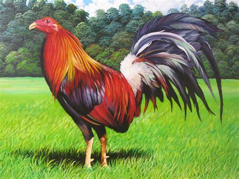 rep dominicana pelea de gallos gallosrd gallos de calidad en rep 250 blica dominicana