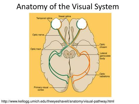 visual cortex diagram ppt conditions diseases affecting sensation and motor