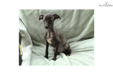 italian greyhound puppies for sale in pa italian greyhound puppies for sale pomsky puppies gallery breeds picture