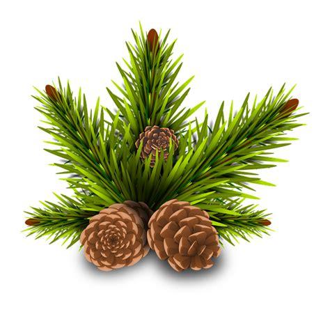 free illustration pinheiro pine cones tree branch