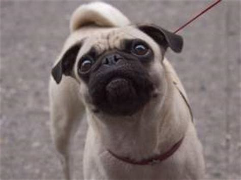 different types of pugs pug tails wagging curling limp and other issues