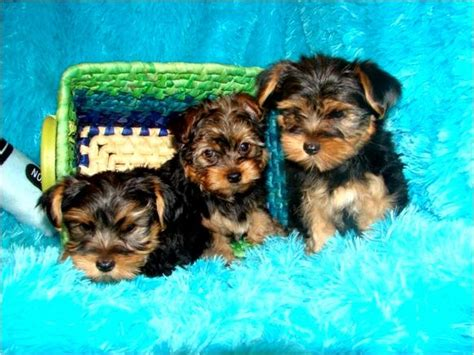 teacup yorkies for sale in mobile al dogs alabama free classified ads