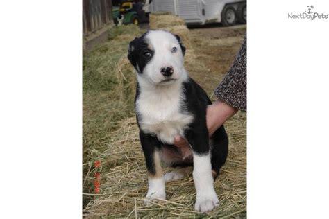 mcnab puppies for sale mcnab for sale for 575 near visalia tulare california d3c498b7 0e91