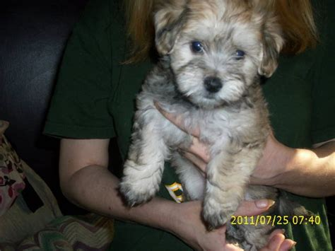 yorkie poo puppies for sale in wisconsin image gallery morkie poo puppies