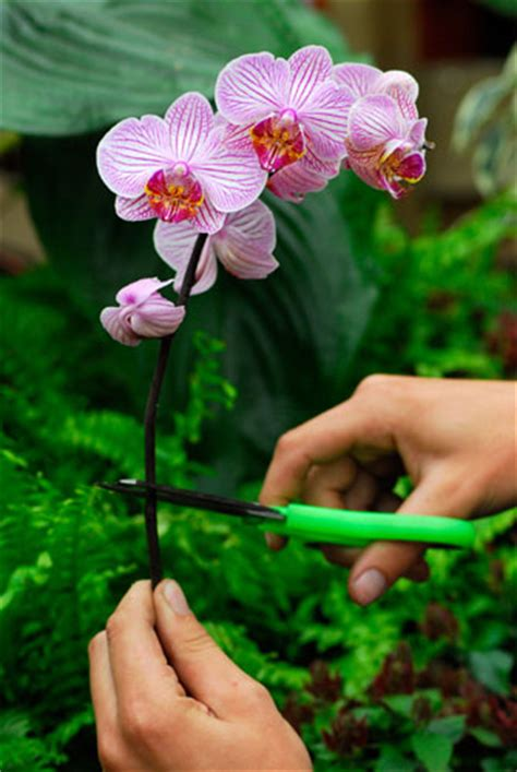 anisti ibuno flowers pruning orchids