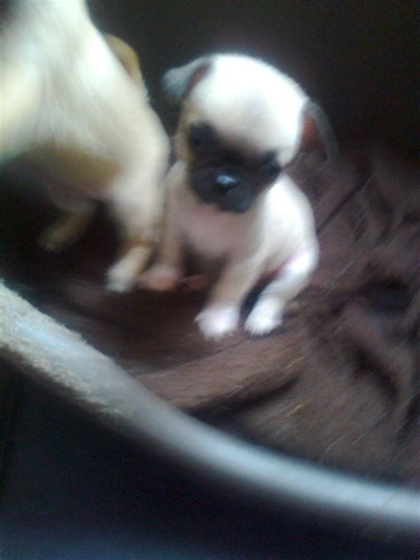 pug cross chihuahua puppies for sale pug cross chihuahua liverpool merseyside pets4homes