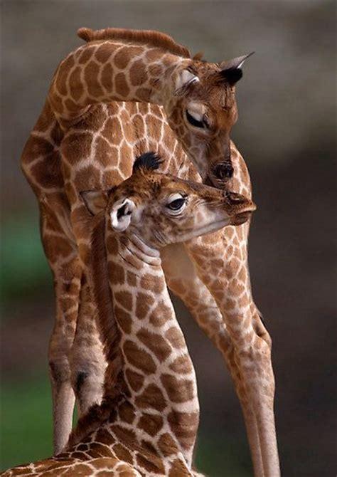The Giraffes Cousins cousins giraffes and my cousin on