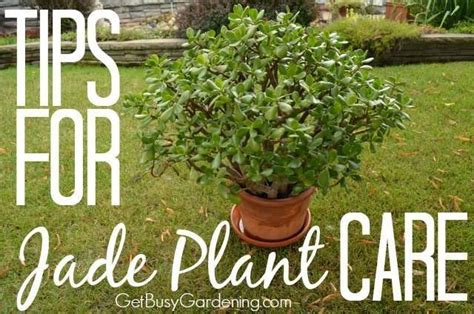 image gallery jade plant care tips