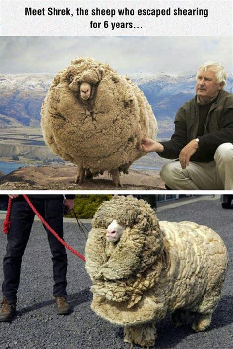 meet shrek  furriest sheep  barnorama