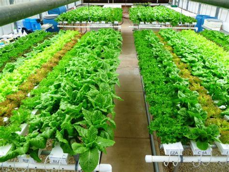 Jual Bibit Sawi Pahit jenis tanaman hidroponik sawi berkah khair