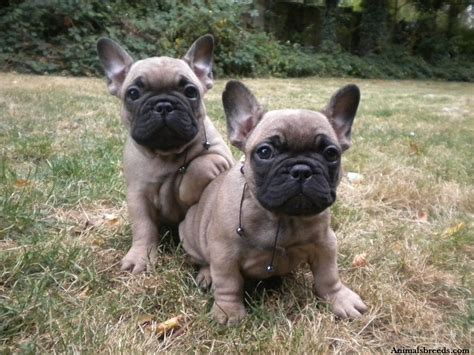 Stop Bulldog Shedding by Bulldog Puppies Rescue Pictures Information