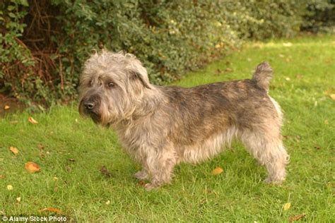 toughest breeds classic breeds facing extinction news the news breaking news