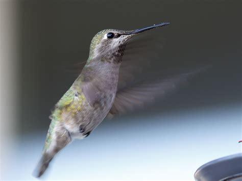 anna s hummingbirds at home ibycter