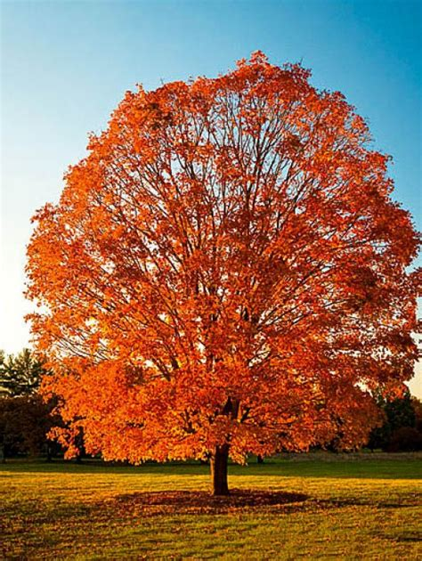 buy a maple tree sold out read more