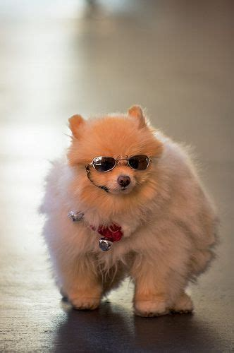 pomeranian bowling 650 best images about things that make me feel better on wisdom words and