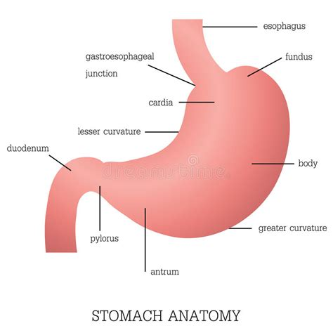 fundus of stomach function structure and function of stomach anatomy system stock