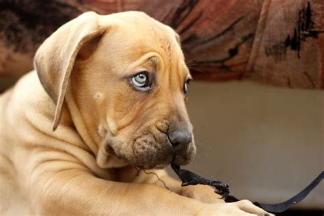 boerboel puppies index of wp content gallery boerboel puppies