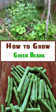 container gardening how to grow beans in pots green beans can be beautiful plants for pots