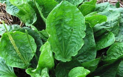membuat obat bius dari tumbuhan jual kapsul daun sendok kapsul plantago dr liza
