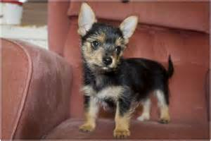 haired chorkie chorkie dog facts pictures puppies prices breeders