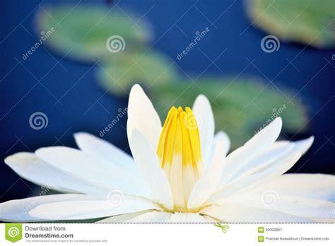 fiore di loto bianco fiore di loto bianco fotografia stock immagine 59306851