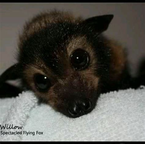 cute baby flying fox bat baby bats images reverse search
