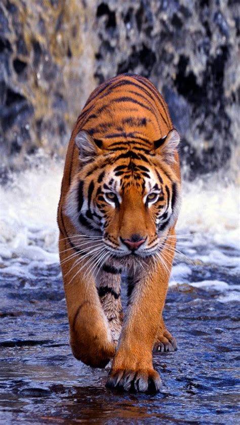 tiger hd wallpaper  mobile gallery