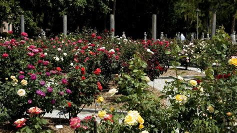 rose gardening see what s coming up at ca d zan at the ringling bayfront