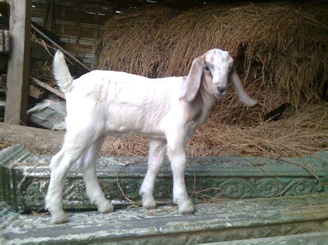 Bibit Kambing Boer pembibitan kambing boer f1 sufyanhadi s