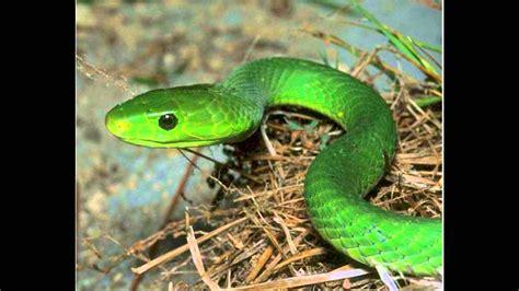 imagenes de serpientes verdes las serpientes mas venenosas del mundo doovi