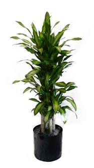 Home Decorating Guide corn plant the plant lady