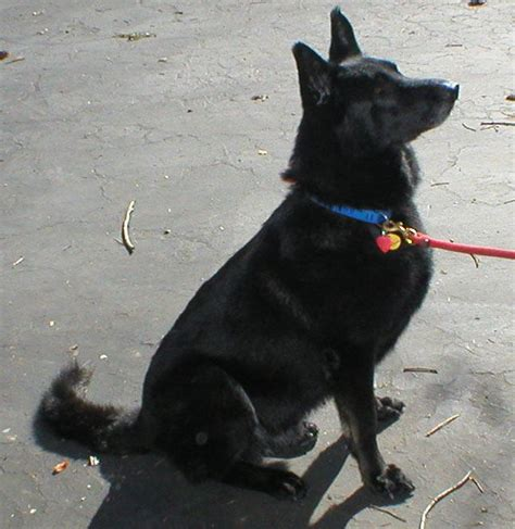 all black dogs sam the beautiful all black german shepherd