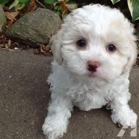 maltipoo puppies for sale mn maltipoo for sale in maple lake minnesota classified americanlisted