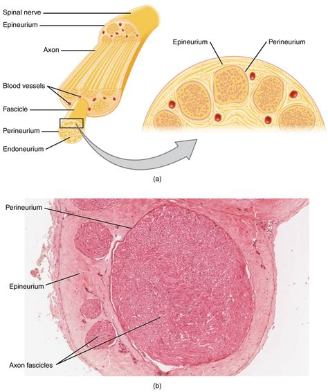 nerve cross section this figure shows the structure of a nerve the top panel