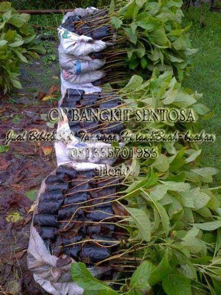 Bibit Tanaman Hutan Jati Apb cv bangkit sentosa jual bibit biji tanaman hutan buah buahan