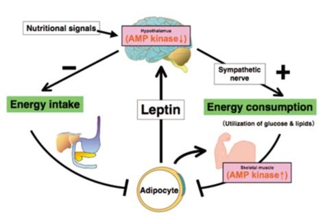 neuropeptide y supplement reducing leptin resistance anabolicminds
