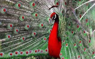 47 Gorgeous Peacock Images peacock live wallpaper pictures of peacocks android