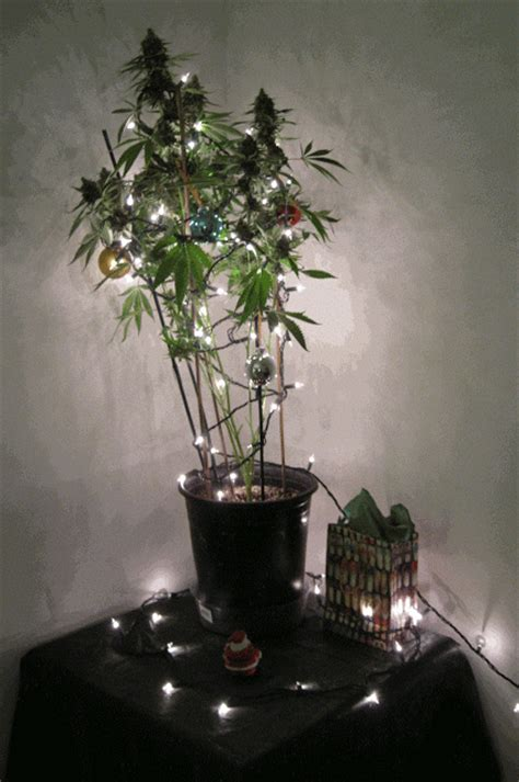 marijuana christmas tree pics ideas december 2011