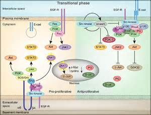 Review to emanate from 4 integrin and e cadherin receptors within one