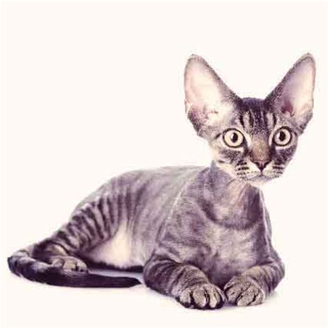 Cats That Dont Shed Much by Useful Anti Matting Cat Hair Cuts Petcarerx