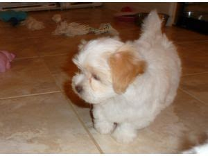 coton de tulear puppies for sale florida for sale coton de tulear puppies for sale coton de tulear