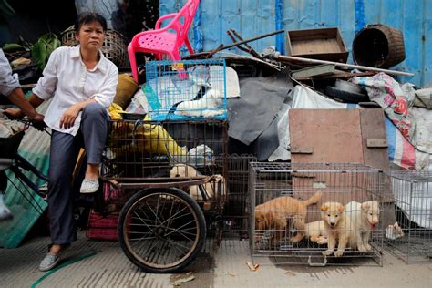 yulin festival china s festival is now banned from selling sick chirpse