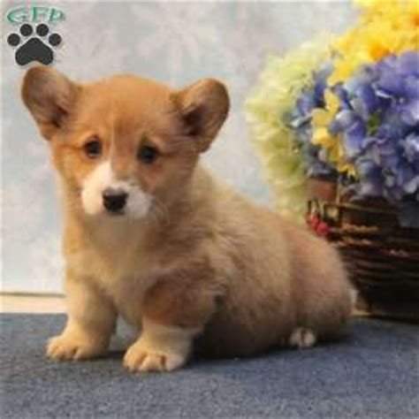 corgi puppies for sale 300 pembroke corgi puppies for sale in pa