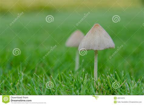 Braune Pilze Im Garten Essbar by Kleine Pilze Auf Rasen Stockfoto Bild 42314370